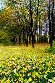Golden fallen leaves on the land. — Stock Photo