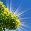 Bougainvillea  bush blossom and sun on the background of sky. - Stock fotografie