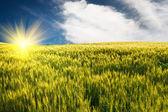 Trigo verde y hermoso cielo azul. — Foto de Stock