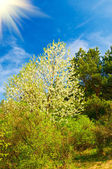 Wonderful sun above spring forest by springtime. — Stock Photo