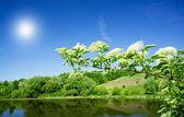 Wonderful elderberry and splendid sunbeams early morning in summ — Stock Photo
