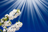 Fantastic beams above image of blooming cherry. — Stock Photo