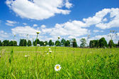 Camomiles and wide steppe. — Stock Photo