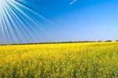Eğlenceli ve harika altın kolza alan güneş. — Stok fotoğraf
