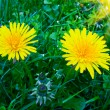 Blooming dandelions. — Stock Photo