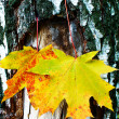 Golden-yellow maple leaves on bark of birch tree . — Stock Photo