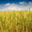 Summer landscape of wheat field. — Foto de Stock