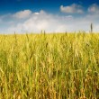 Summer landscape of wheat field. — Стоковое фото