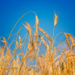 Amazing ripe wheat. — Stock Photo