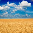 Beautiful golden field of ripe wheat by summer. — Stock Photo