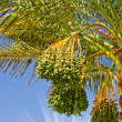 Date palm branch with green unripe dates and sun. — Stock Photo
