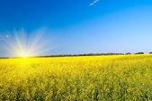 Piękne słońce nad złotym rapefield przez wiosenny. — Zdjęcie stockowe