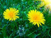 Blooming dandelions. — Stock Photo