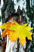 Golden-yellow maple leaves on bark of birch tree . — Stockfoto