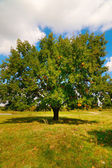 Wonderful alone large oak tree by autumn. — Stock Photo