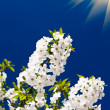 Fantastic beams above  image of blooming cherry. - Stock fotografie