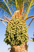 枣椰树. — 图库照片