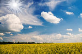 Golden rapeseed field and white clouds. — Stock Photo