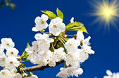 Colorful cherry tree blossom and fun sun. — Stock Photo