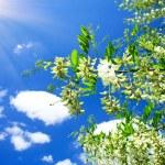 White acacia and fun sun . — Stock Photo