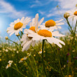 Wonderful daisies against blue sky background. - Stock Photo
