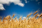 Summer view of ripe wheat. — Foto de Stock