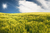 Green wheat by summer. — Stock Photo