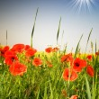 Wonderful poppies and fun sunbeams. — Stock Photo