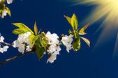 幻想的な梁上記咲く桜の画像. — ストック写真