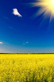 Wonderful house among golden rapeseed field and fun sun. — Stock Photo
