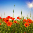 Wonderful poppies and fun sunbeams. — Stock Photo #6518879