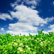 Amazing camomiles and field of green clover. — Stock Photo
