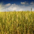 Golden, ripe wheat against blue sky background. — Stock Photo