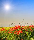 Coquelicots merveilleux et amusant rayons du soleil. — Photo