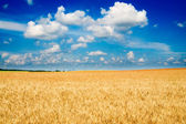 Amazing yellow field of wheat. — Stock Photo