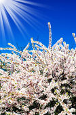 Vackra, färgglada bush blossom. — Stockfoto
