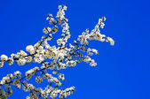 Beautiful plum tree blossom. — Stock Photo