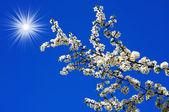 Beautiful plum tree blossom and fun sun. — Stock Photo