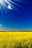 Fine house among golden rapeseed field . — Stock Photo