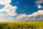 Golden rapeseed field. — Stock Photo