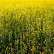 Golden rapeseed field. — Stock Photo