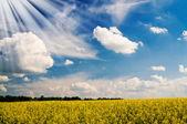 Altın kolza alan ve beyaz bulutlar. — Stok fotoğraf