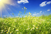 Camomiles field against the blue sky and fun sun. — Stock Photo