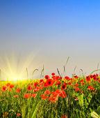 Zomer veld met tarwe en kleurrijke papavers. — Stockfoto