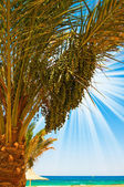 Date palm with green unripe dates and blue ocean. — Foto de Stock