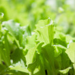 Young leaves of lettuce in sun rays — Stock Photo