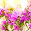 Stock Photo: Rhododendron flowers large plan.
