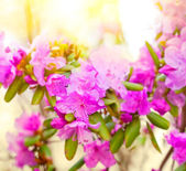 Rhododendron flowers large the plan. — Stock Photo