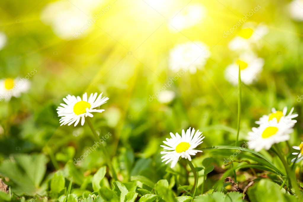 Blossoming camomiles on a green meadow in sun beams — Stock Photo #5743356