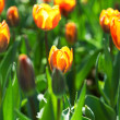Spring field with colorful tulips. — Stock Photo